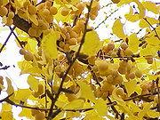 Ginkgo, reife Samen und Herbstlaub am Baum.
