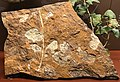 Ginkgo NHM fossil.jpg