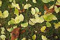 Ginkgo leaves @ Jardin du Luxembourg @ Paris (30840517722).jpg