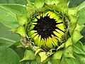 Girasol (Helianthus annuus) - Flickr - Alejandro Bayer (26).jpg