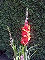 Gladiolus'RedCascade'02.jpg
