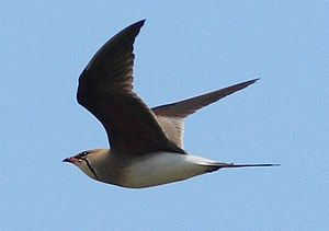 Collared pratincole - G. pratincola on the ground and in flight