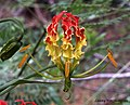 Gloriosa Lily Gloriosa superba (16423970802).jpg