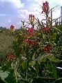 Gloriosa superba plant.jpg