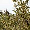 Go-away bird-5954 - Flickr - Ragnhild & Neil Crawford.jpg