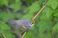 Golden-Winged Warbler (Vermivora chrysoptera) (14229915863).jpg