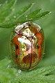 Golden Tortoise Beetle (Charidotella sexpunctata) - Guelph, Ontario 02.jpg
