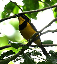 Golden Whistler Vidawa jun08.JPG