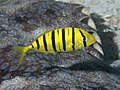 Golden trevally (Gnathanodon speciosus) (47728328672).jpg