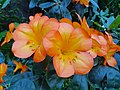 Gorgeous orange blossoms.jpg
