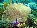 Gorgonia flabellum.jpg