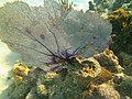 Gorgonia ventalina - purple sea fan - Bay of Pigs - Cuba.jpg