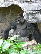 Gorilla gorilla gorilla6.jpg