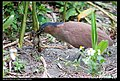 Gorsachius melanolophus (5623710765).jpg