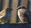 Gråsparv House Sparrow (31145614221).jpg