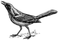 Grackle (PSF).png