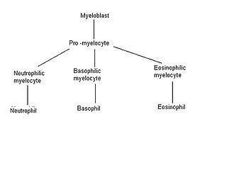 Myeloblast - Image: Granulopoiesis