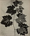 Grape culture in California - its difficulties, phylloxera and resistant vines, other vine diseases; Improved methods of wine making (1908) (14594751588).jpg