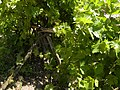 Grape vines on a wooden support (5802824933).jpg
