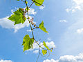 Grapes are growing (14481730390).jpg