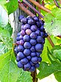 Grapes to be made into wine at Sweet Cheeks Winery.jpg