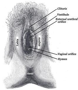 Grote Latijnse penis