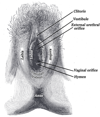 Frenulum of labia minora - External genital organs of female. The labia minora have been drawn apart (frenulum of labia minora is labeled as Frenulum pudendi)