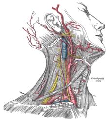 common carotid artery wikipedia Coronary Vascular Diagram