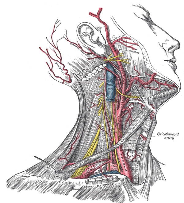 Head and neck anatomy - Wikiwand