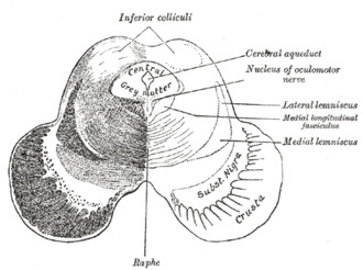Medial longitudinal fasciculus - Transverse section of mid-brain at level of inferior colliculi. (Medial longitudinal fasciculus labeled at center right.)
