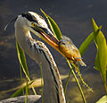 Great Blue Heron with Fish at Lake Woodruff - Flickr - Andrea Westmoreland.jpg
