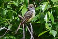 Great Crested Flycatcher (13899406990).jpg