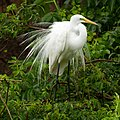 Great Egret during mating season at Smith Oaks Sanctuary, High Island.jpg