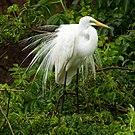 Great Egret during mating season at Smith Oaks Sanctuary, High Island.jpg