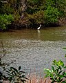 Great Egret in Clear Creek (5607958370).jpg