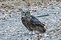 Great Horned Owl (42810382330).jpg
