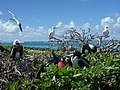 Great frigatebirds and red-footed boobies at Tern Island.jpg