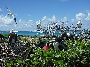 French Frigate Shoals - Great frigatebirds and red-footed boobies at Tern Island