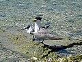 Greater Crested Tern, Lady Elliot Island, Queensland 1.jpg