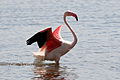 Greater Flamingo, Phoenicopterus roseus at Marievale Nature Reserve, Gauteng, South Afr (23034424769).jpg