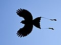 Greater Racket-tailed Drongo in flight.jpg