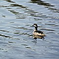 Green Pygmy-goose.jpg