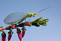 Green lacewing chrysopidae.jpg