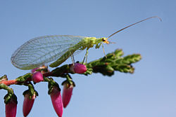 Green lacewing chrysopidae.jpg