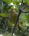 Greenfinch 1 (3598114124).jpg
