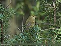 Greenish Warbler (Phylloscopus trochiloides) (15895922885).jpg