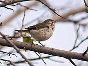 Greenish Warblerfairly common winter visitor