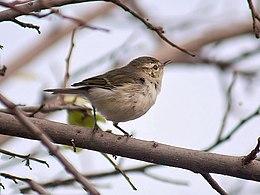 Greenish Warbler I IMG 0565