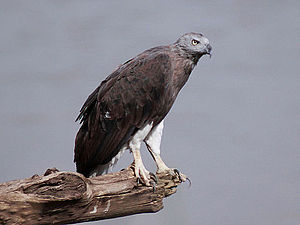 Grey Headed Fish Eagle - Ichthyophaga ichthyaetus cropped.jpg