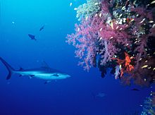 Photo of shark swimming next to large, brightly colored coral head